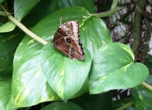 Wielki ibardzo piekny motyl