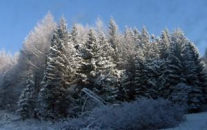 Drzewa z gracją noszą zimowe szaty.