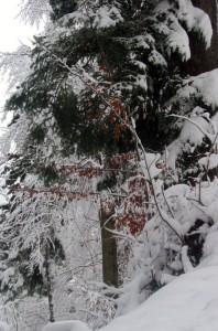 Biel śniegu gdzieniegdzie jest przełamywana przezzieleń sosnowych igieł orazpomarańcz zrudziałych liści